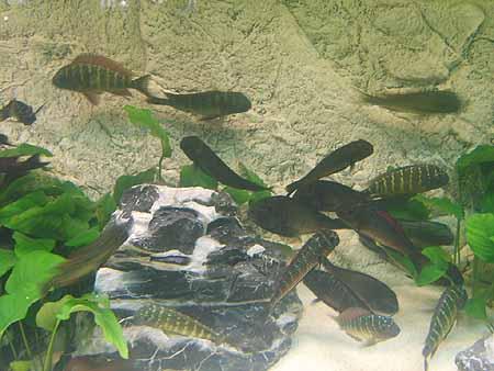 afrikanische-barsche-aquarium