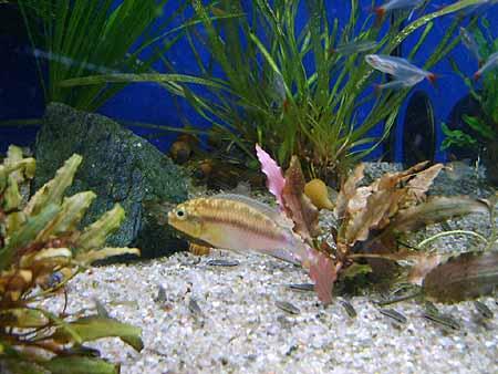 buntbarsch-halten-aquarien-haltung