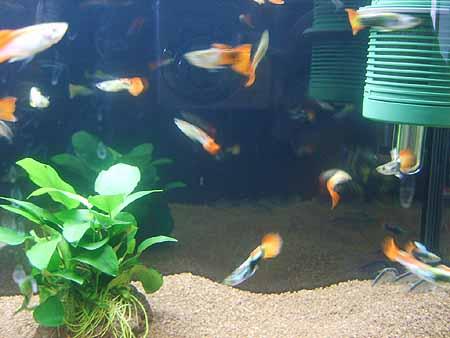 guppy-haltung-zucht-aquarium