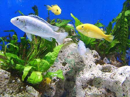 kleine-buntbarsche-arten-aquarium