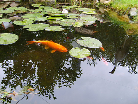 kleine-koi-karpfen-aquarium