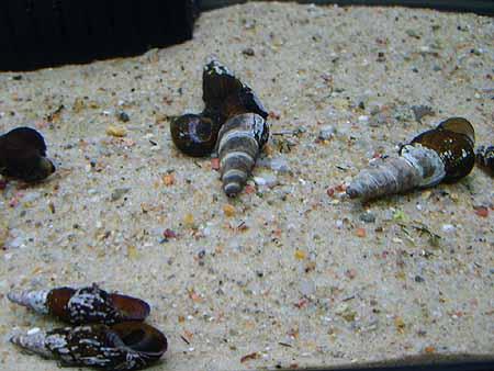schnecken-haltung-zucht-aquarium