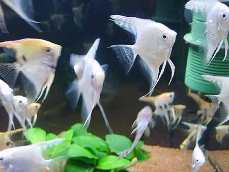 skalare-zucht-futter-fisch
