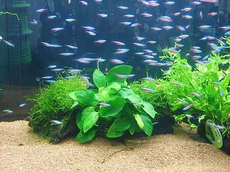 suesswasser-zierfische-neon-aquarium