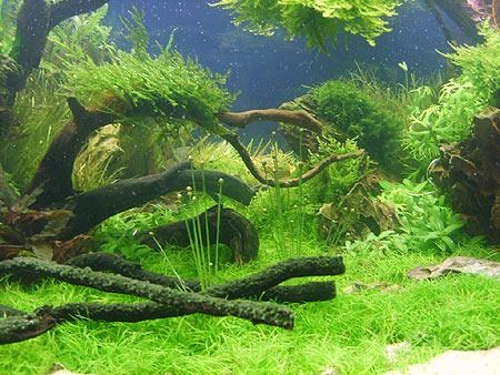 VordergrundpflanzenimAquarium