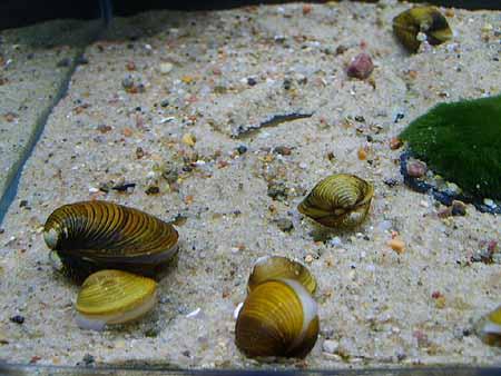 muscheln aquarium kaufen