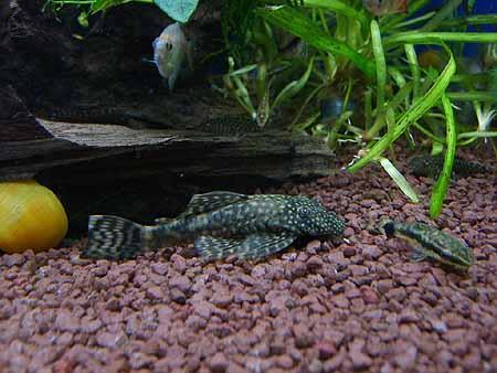 putzerfische-arten-suesswasser-201202100133091.jpg