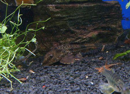 putzerfische-gegen-algen-201202072315451.jpg